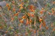 Another view of the exuberant Anisacanthus - desert honeysuckle.