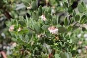 Manzanita in bloom.