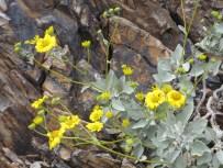 http://www.fireflyforest.com/flowers/1036/encelia-farinosa-brittlebush/