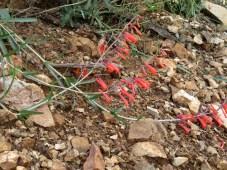 http://www.fireflyforest.com/flowers/7/penstemon-subulatus-hackberry-beardtongue/