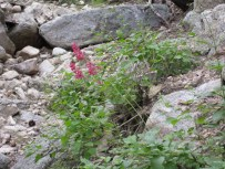 Coral bells brighten the canyon.