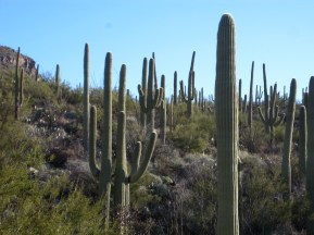 Happy saguaros.