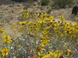 Sunny field with brittlebush.