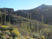 Saguaros, brittlebush and the canyon ahead.