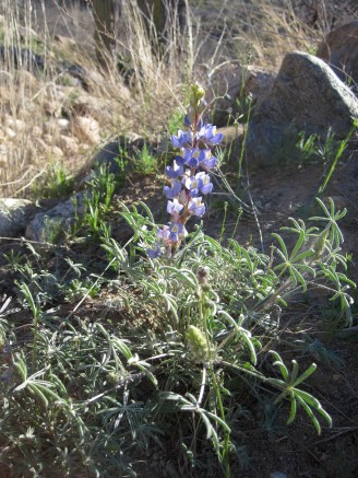 Early lupine.
