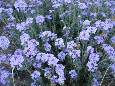 Also known as Southwestern mock vervain.