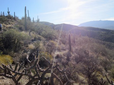 Early morning sun on the desert, with saguaro and cholla cactus.