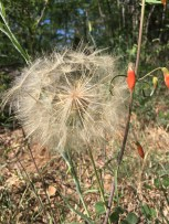 Fluffy dandelion-like globe.