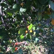 Rhamnus illicifolia