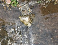 Charming grey-white frogs splashed in the stream.