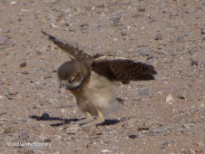 Burrowing Owl Baby - Maybe these will work!