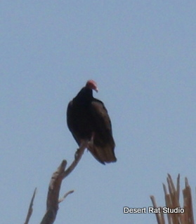 Turkey Vulture in Halloween Tree