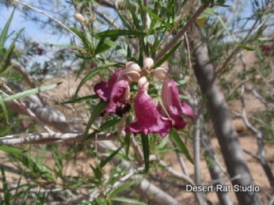 Desert Willow