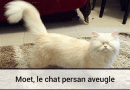 Moet le chat persan aveugle