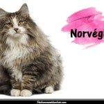 Le chat Norvégien