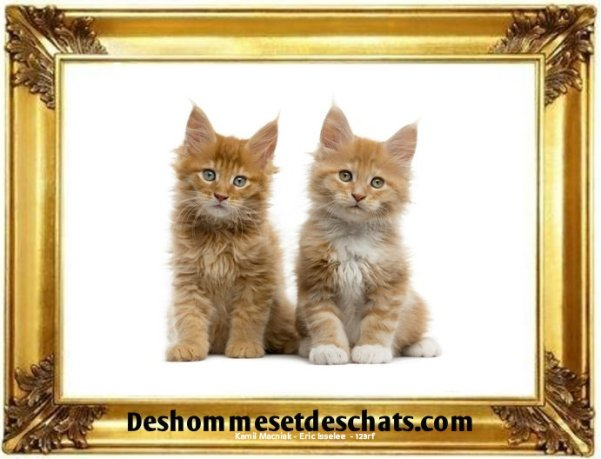 images chats rigolos chat drole chat marrant photo chat photo photo chat rigolo chat maincoon chat menkoun le maine coon chat mecoune chaton maine coon chaton maine coon chat maincoon men coon maine coon a donner chat maine coon prix