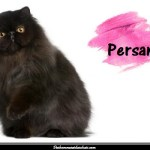 Le chat Persan, un chat de race d'exception