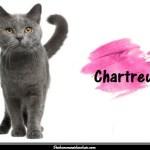 Le Chartreux appelé chat des Chartreux