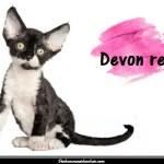 Le Devon rex