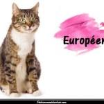 Le chat Européen