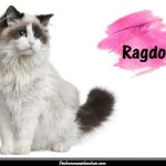 Le Ragdoll