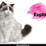 Le Ragdoll