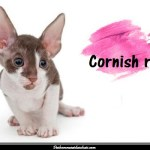Le Cornish Rex