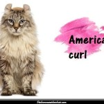 L'American curl