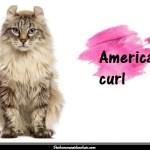 L'American curl