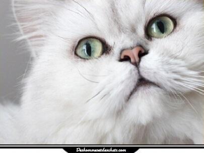 Le chat persan chinchilla blanc chats persans chaton persan chinchilla chaton persan chat persan - Chaton persan gratuit ...