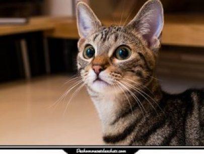 Le munchkin une race de chat miniature des hommes et des chats - Chat munchkin prix ...