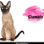 Le siamois
