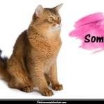 Le Somali, une variété de chat abyssin à poil long