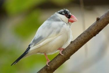 文鳥がくちばしを鳴らすのはなぜ?文鳥の気持ちと体の変化