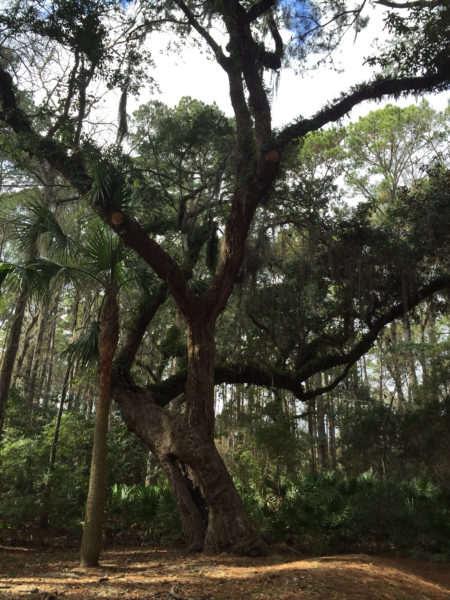 Live Oak at the Sea Pines Indian Shell Ring