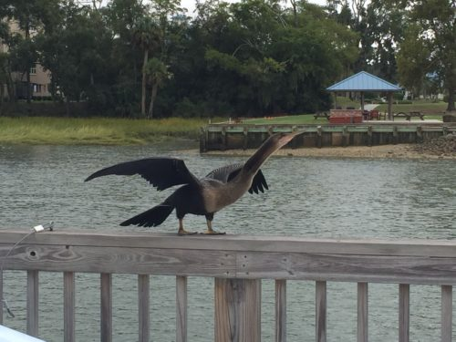 Easy Birds to See on Hilton Head Island: Female Anhinga drying her wings on the dock at Blue Water Resort