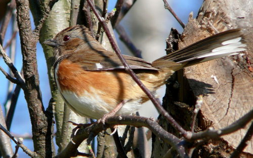 Easy Birds to See on Hilton Head Island: Female Eastern Towhee Photo by Ken Thomas from Wikimedia Commons
