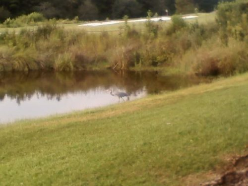 Easy Birds to See on Hilton Head Island: Great Blue Heron at Blue Water Resort