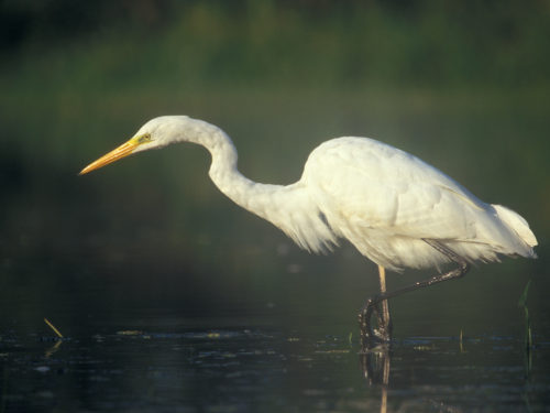 Easy Birds to See on Hilton Head Island: Great Egret Photo by Lukasz Lukasik from Wikimedia Commons
