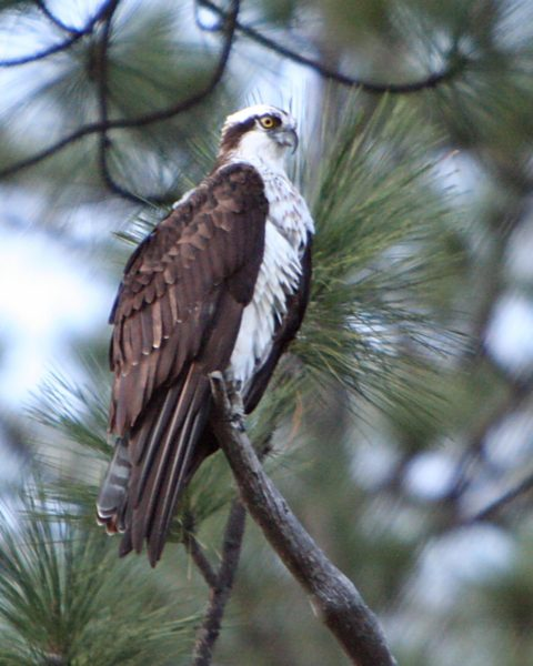 Easy Birds to See on Hilton Head Island: Osprey Photo by Velo Steve from Wikimedia Commons