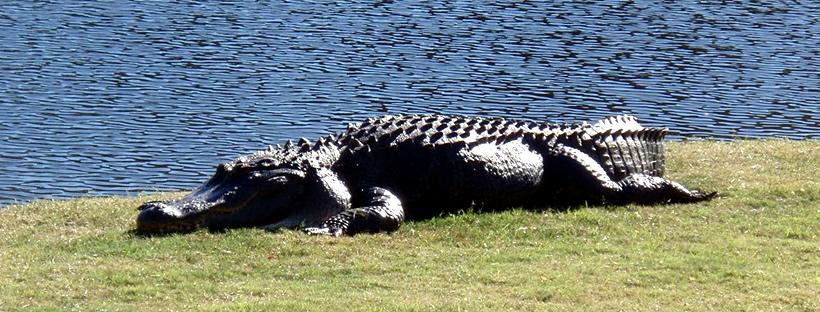 Alligators on Hilton Head Island