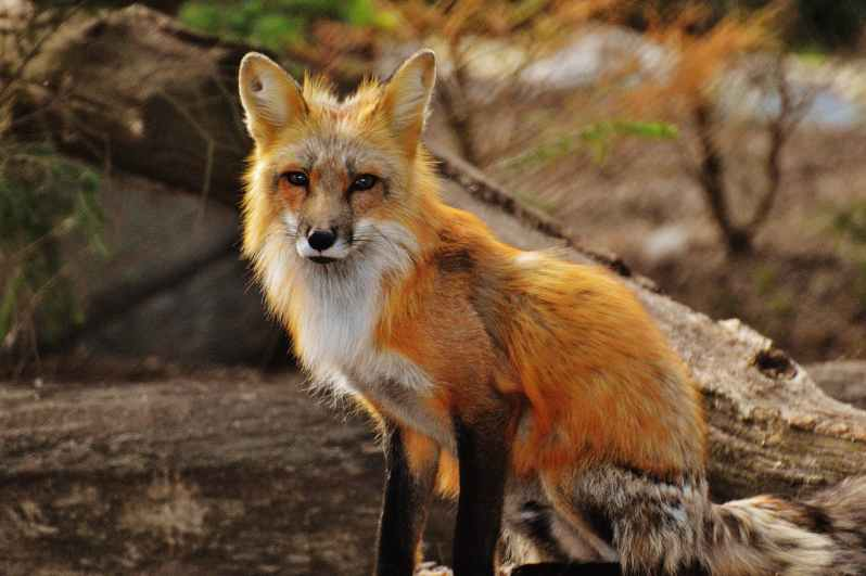photography of tan white fox