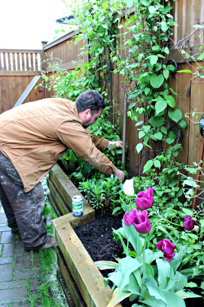 Yard Transformation challenge. Clematis plants
