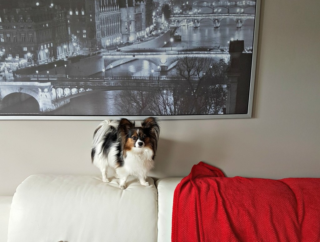 Papillon dog, learning new tricks, Greg's condo, Sage, dog on sofa