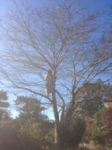 桜枝 伐採1