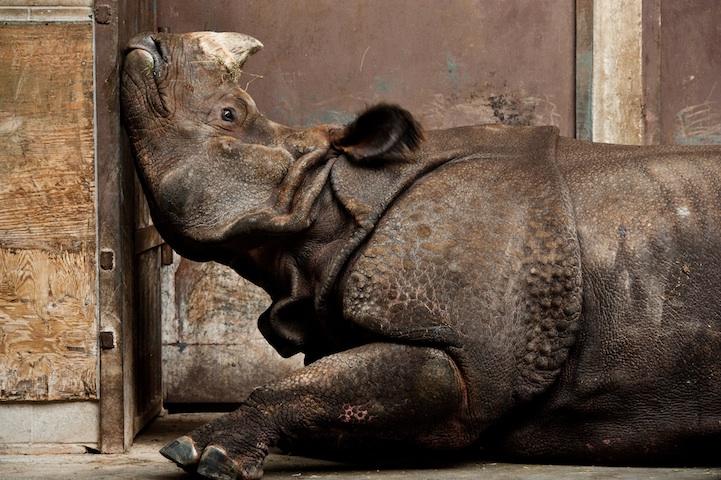 Indian Rhino, Canadian Winter - 2013-11-21_230529_nature.jpg