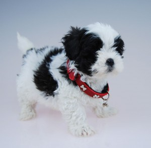 Black and white Moodle puppy Chevromist