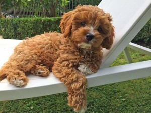 Cavoodle puppy lounging on a chair