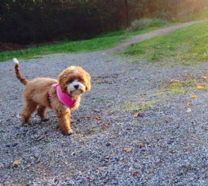 Lily Cavoodle out walking