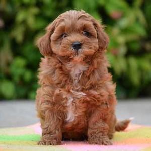 Designer dog info Shihpoo puppy